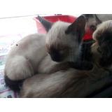 Gaticos Siameses: Super Hermosos