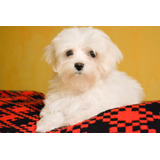 Lindos Cachorros Bichon Maltes - Entrega En Lima O Provincia