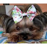 Laços Lacinho De Tecido Cães Pet Shop Frete R$10