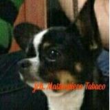 Chihuahua Registrado Pedigrí Accc En Venta En Cali