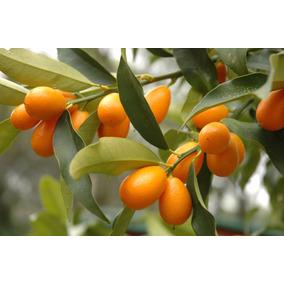 Delicioso Frutal Enano Kumquat Para Maceta O Tierra