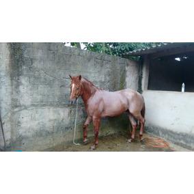 Cavalo Quarto De Milha,puro Sangue ,rosilho 4 Anos