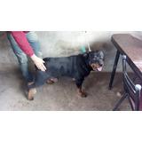 Rottweiler Puro A Convenir Para Crusa De 1 Año