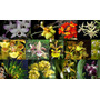 Oferta Combo 8 Orquídeas Nativas + Fertilizante