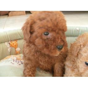 Cachorros Caniche!! Macho Mini Rojo !!!