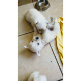 Cachorros West Highland White Terrier