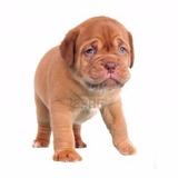 Dogo De Burdeos - Secretos Adiestramiento Y Cuidados
