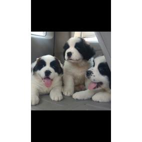 Cachorros Sanbernardo 3 Hembras Y Un Macho Un Mes De Nacido