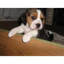 Cachorros Beagle 13 Los Mas Chiquitos-envios-oeste Gratis