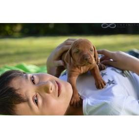 Cachorro Vizsla Macho Excelente Genetica. Apto Caza