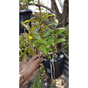 Dendrobium Aphyllum Adulta