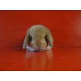 Lindísimos Conejitos Conejos Belier (mini Lop) De Raza Pura.