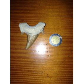 Fósil De Tiburón Prehistórico