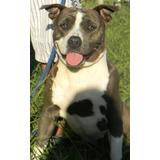 Cachorros Amerian Staffordshire Terrier