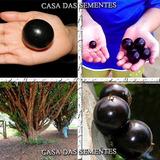 Jabuticaba Gigante Olho De Boi - Sementes Fruta P/ Mudas