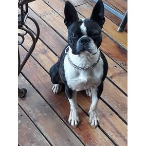 Boston Terrier 2.5 Años Se Alquila Para Salto.
