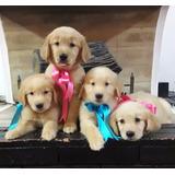 Cachorros Golden Retriever Hembras Y Machos Puros.