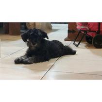 Cachorro Schnauzer En Adopción 6 Meses Solo Monterrey