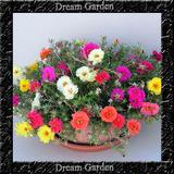 Onze Horas Dobrada Sortida Importada 1100 Sementes Flor Muda