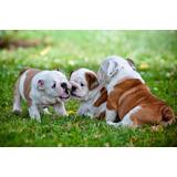 Bulldog Ingles (unicos)