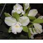Orquidea Exotica Verde Com Branca Epsiam Jade- Planta Adulta
