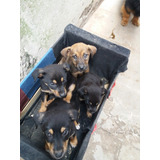 En Adopcion Super Responsable 4 Cachorros De 2 Meses Machos