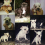 Cachorros Bulldog Frances Para La Venta