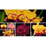 8 Mudas Orquídeas Cattleya Tamanhovariado Pequenas Avarias