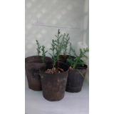 Cipres Sp. Plantin Pre Bonsai