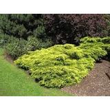Pino Rastrero: Juniperus Chinensis Gold Coast!!