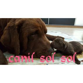 Filhotes De Labrador (chocolate) Promoçao Para Macho