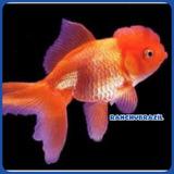 Peixe Kinguio De Raça Oranda Red Ranchubrazil