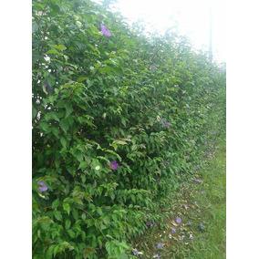 Tumbergia Roxa - P/cerca Viva 30 Mudas 30cm