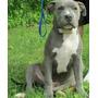 Pitbull Blue Cachorro 5 Meses De Edad