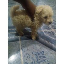 Caniche Toy Blanco Macho Hermoso Cachorro Nacido 14/2