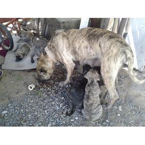 Vendo Cachorros Cimarrones Puros Con Vacuna Y Desparasitados