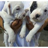 Cachorros Amerian Pitbull Macho Y Hembra
