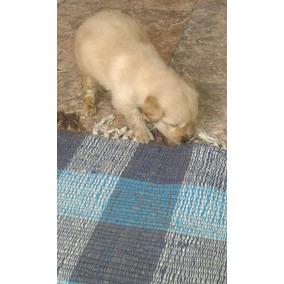 Vendo Hermosos Cachorros Golden Retriever!!