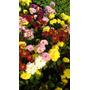 Crisantemos Varios Colores - Productor