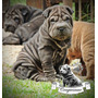 Cachorros Shar Pei, Los Mas Lindos! Craguesmur C/fca