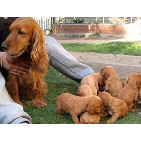 Cachorros Cocker La Reputacion Mas Alta Y 6cuotas S/interes
