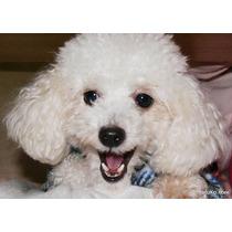 Cachorro Poodle Macho
