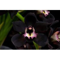 50 Sementes Orquídea Cymbidium