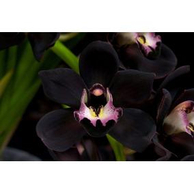 50 Sementes Orquídea Cymbidium Preta