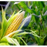 Manual Guia Cultivo Del Maiz Aprenda Todo Lo Necesario