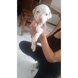 Cachorros American Pitbull Terrier Solo 3 Machos 1 Hembra