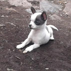 Chihuahueña Hermosa Recien Nacida. Es Pinta. Una Vaquita.