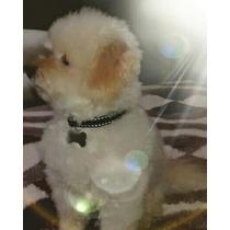 Coleira Para Cães Pequenos Com Placa Gravada Grátis