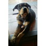 Vende Pitbull Terrier Tricolor