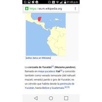 Cuernos De Venado Mazama O Cornezuela Yucateca. Replica.